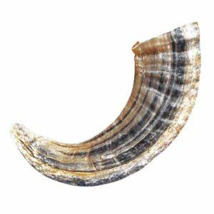 Natural Lambs Horn